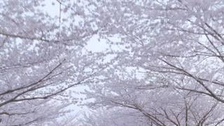 日本真的到处都是樱花 那种纯纯的美丽