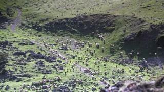 放羊也能如此大气磅礴 小羊羔简直太可爱了!