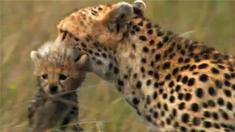 非洲猫科:勇气国度 预告片
