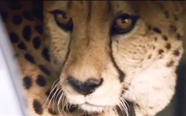 《黑金杀机》中文片段 迪亚茨豪车藏猎豹超级拉风