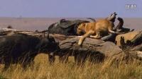 《非洲猫科》African Cats: Kingdom of Courage 预告片