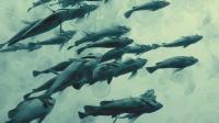 奇观!疙瘩头怪鱼孤独游弋,遇同类竟与其互怼