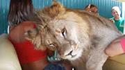 狮子突然变大猫!钻进观光车求游客抱抱