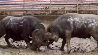 小牛挑战12万高价牛王