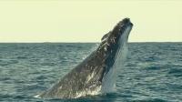 露脊鲸相伴徜徉海底,飞跃水面极度场面壮观