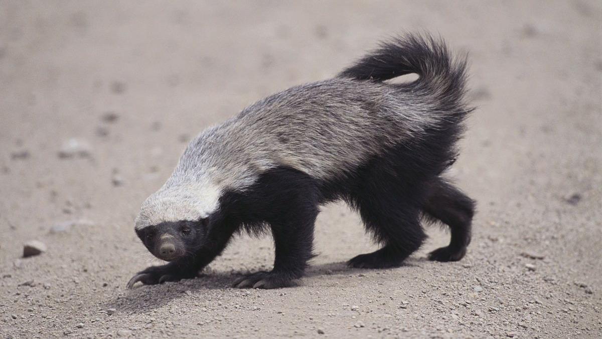 表情 天不怕地不怕的平头哥蜜獾出门遇到花豹 高清在线观看 百度视频 表情