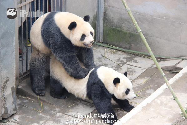 表情 大熊猫交配持久获赞,动物奇妙性交 日报 爱问知识人 表情