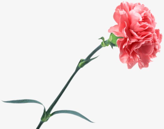 表情 康乃馨 快图网 免费PNG图片免抠PNG高清背景素材库kuaipng.com 表情