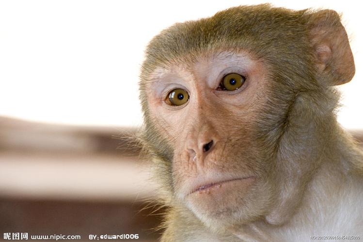 猴子 养猴子犯法吗 王者荣耀猴子怎么玩