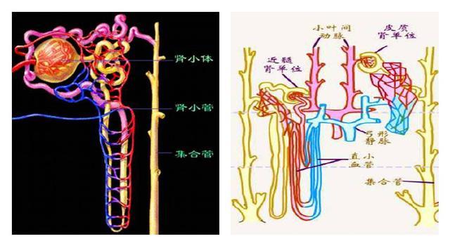 肾脏结构示意图 水喝多了会死?