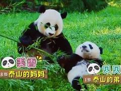 黄晓明大胆吃熊猫零食 壮妹三次当妈艰难生产