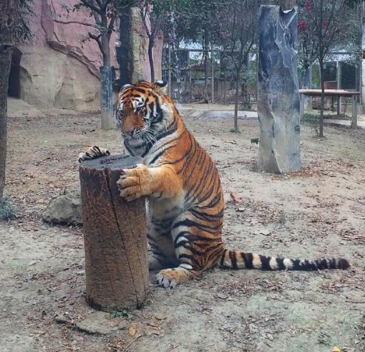 凶猛老虎抱着个木桩亲热,远远看 ...
