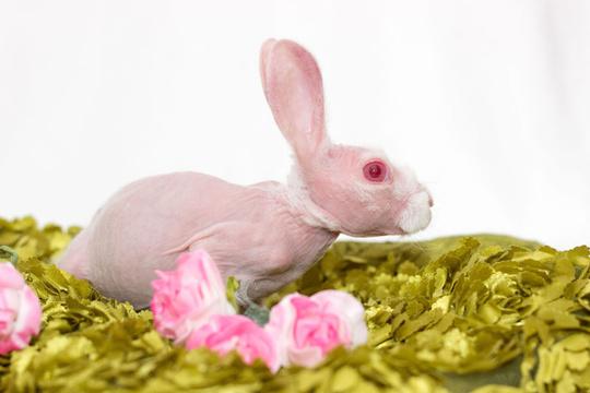 粉红萌兔因罕见病天生无毛 被领养后成网红