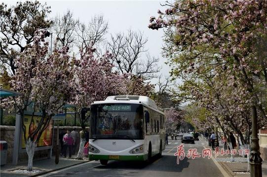 """穿越海棠花海 青岛""""最美公交""""驶进春天"""