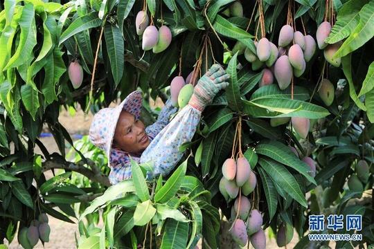 海南三亞:依附自然優勢 做大芒果產業