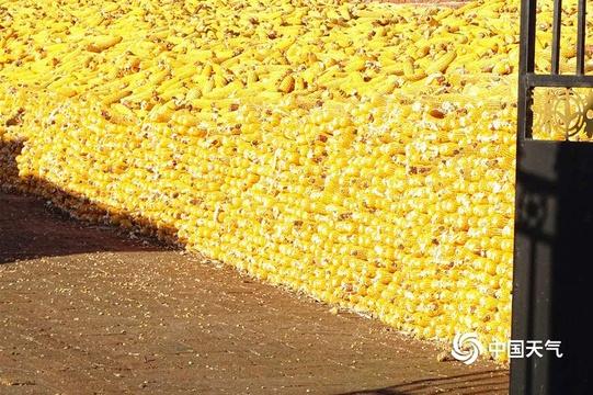 黑龍江:滿院金黃關不住 豐收喜悅曬出來
