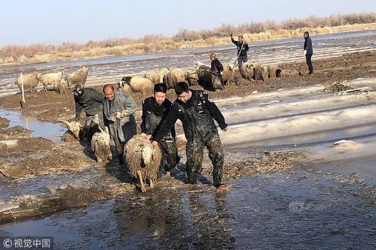 牧民500只羊被困冰河