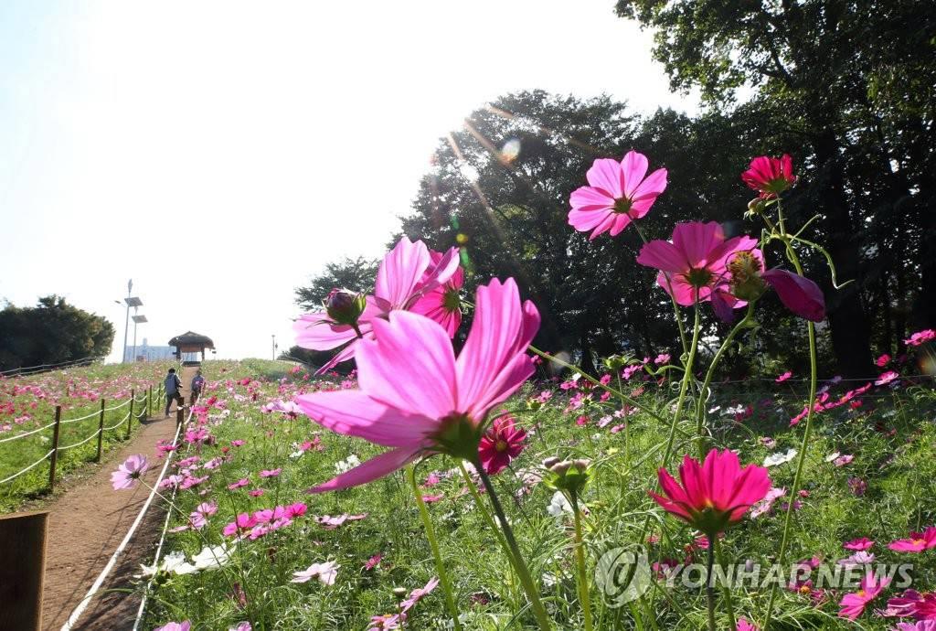 搜狗图片-share555【组图】韩国波斯菊花海吸引游客赏秋(1)