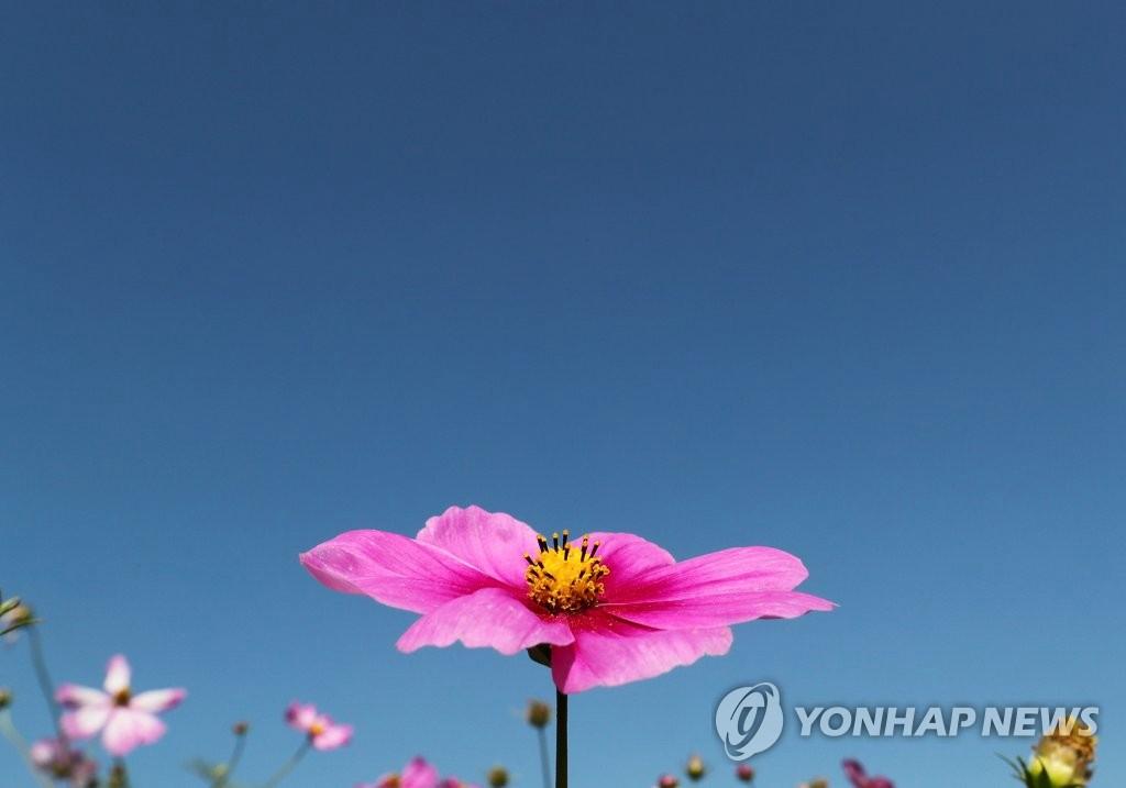 搜狗图片-share555【组图】韩国波斯菊花海吸引游客赏秋(5)