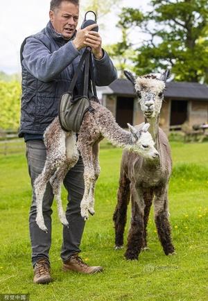 """英国一农场迎来""""玫瑰灰""""羊驼宝宝 吐舌卖萌超可爱"""