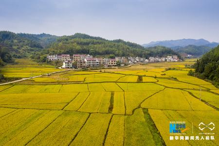 图拍江西增仚村:稻谷金黄收割忙