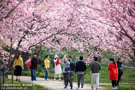 南京:樱花烂漫醉游人