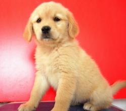 如何训练金毛犬,训练金毛犬与人握手