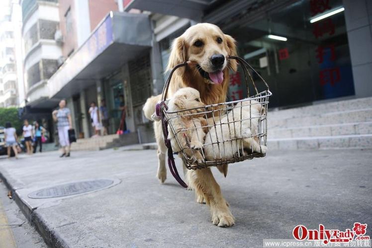 金毛犬价格金毛犬多少钱