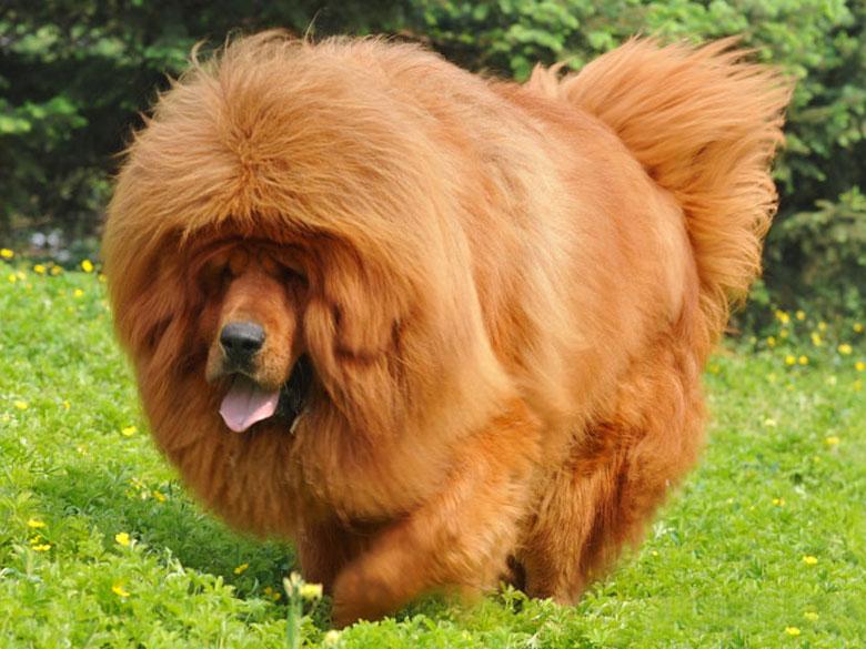 世界上最大的狗藏獒_世界最大狗品种排名 世界上体型 大的狗有哪些 大型犬排名 ...