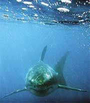 大白鲨剧照
