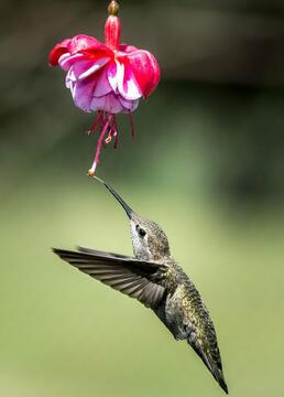 蜂鸟珍贵的使者剧照