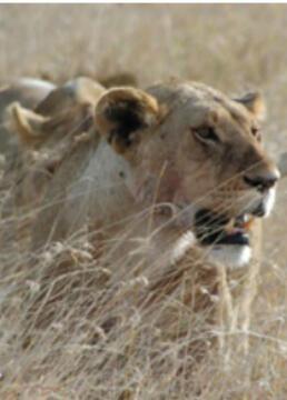 热带大草原上的生活大型猫科动物剧照