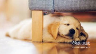 狗狗做绝育手术的过程与护理